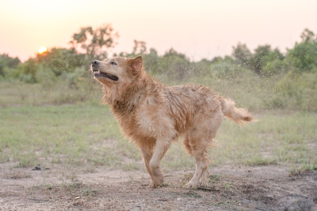 O cão golden retriever sacode a água depois de nadar