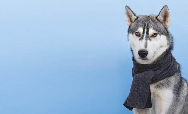O cão husky em um lenço sobre um fundo azul
