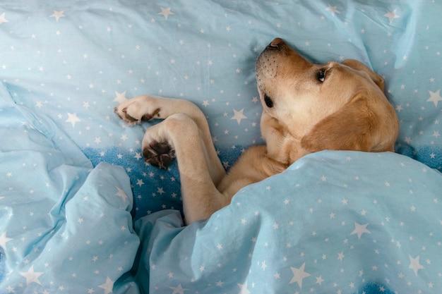 O cão labrador encontra-se debaixo de um cobertor.