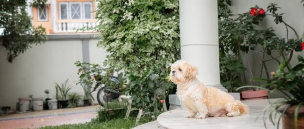 O cão pequeno produz a pele marrom do shih tzu
