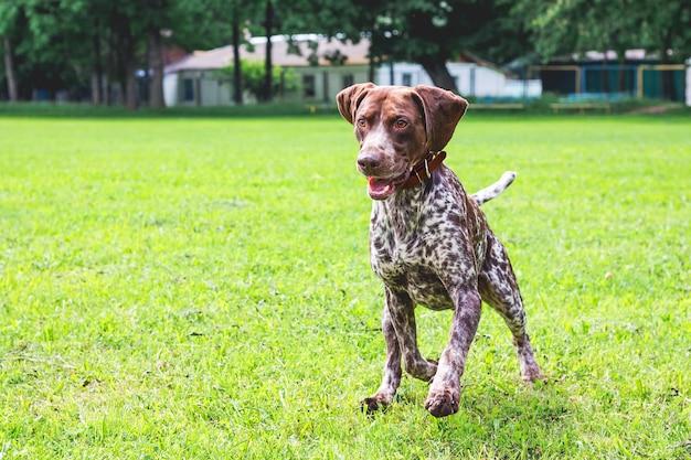 O cão ponteiro alemão de pêlo curto corre num campo verde