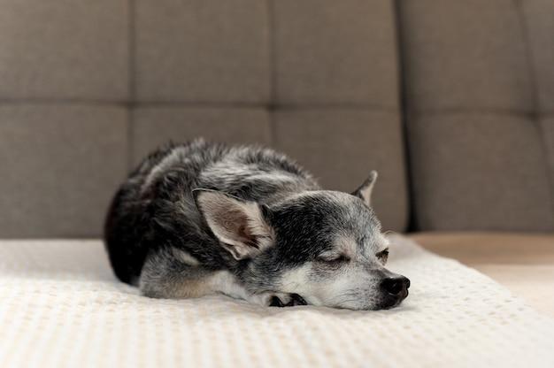 O cão preto velho da chihuahua tentou dormir no sofá em casa.