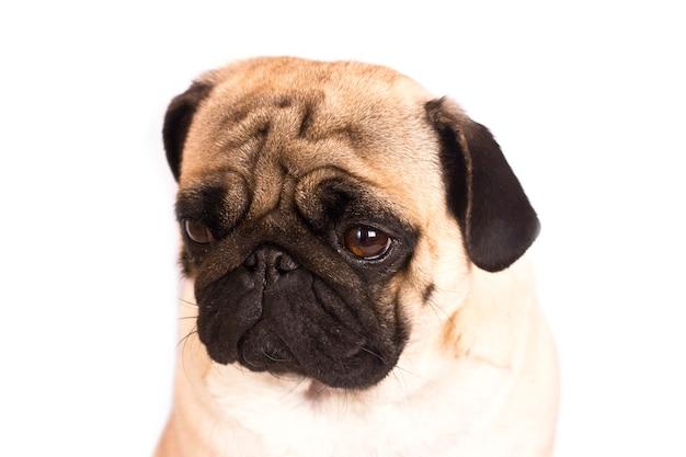 O cão pug senta e olha com tristes olhos grandes.
