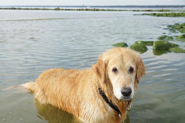 O cão raça golden retriever molhado após o banho em pé sobre a água em uma baía.