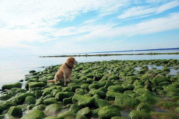 O cão raça golden retriever molhado após o banho sentado nas pedras verdes na baía.