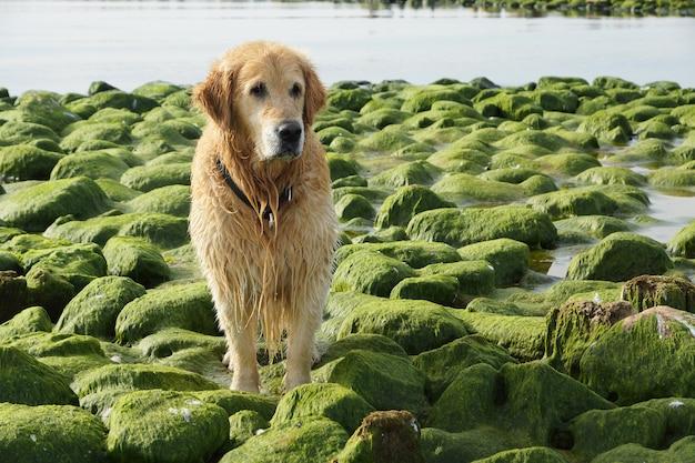 O cão raça golden retriever molhado após o banho sentado sobre pedras verdes.
