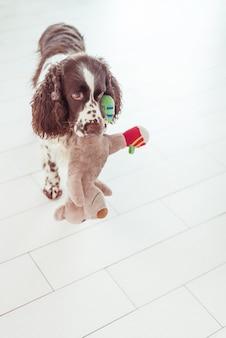 O cão spaniel está de pé e oferece-se para brincar com um bicho de pelúcia.