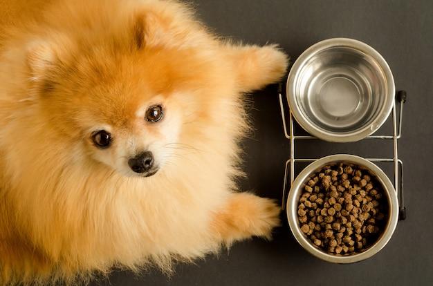 O cão spitz da pomerânia está comendo água e ração seca em uma tigela.