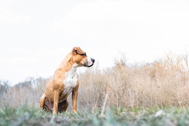 O cão staffordshire terrier desfruta de um lindo dia de primavera em um prado ou um parque