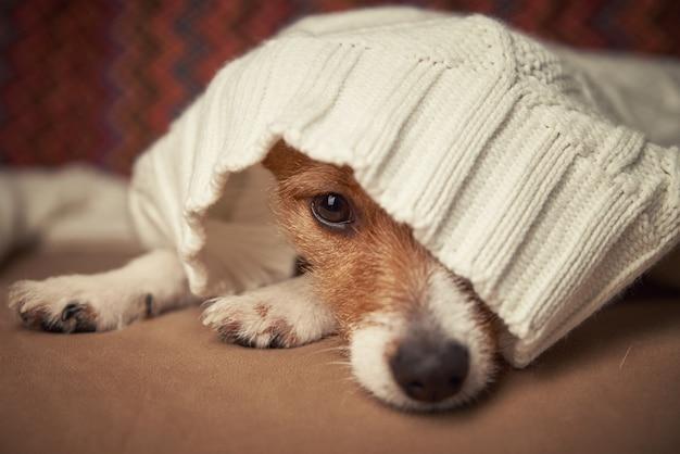 O cão terrier jack russell se aquece sob o suéter de lã.