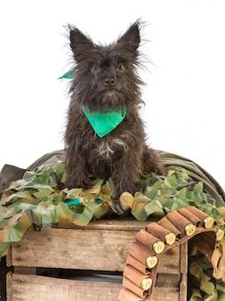 O cão terrier posa com uma bandoleira e cartucho