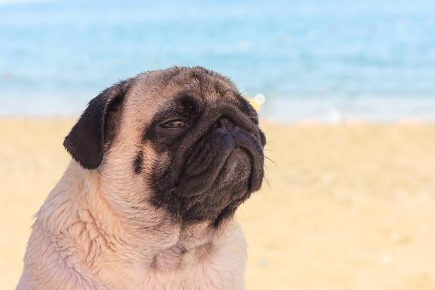 O cão triste do pug senta-se na praia e olha-se o mar.