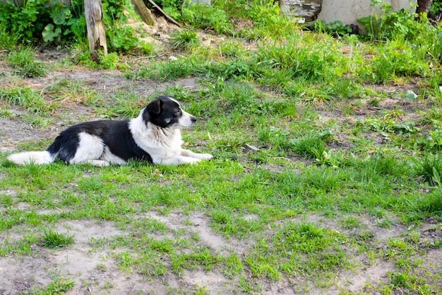 O cão vadio deita-se na grama verde.