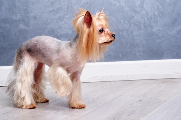 O cão yorkshire terrier fica com uma pata levantada e olha para longe.
