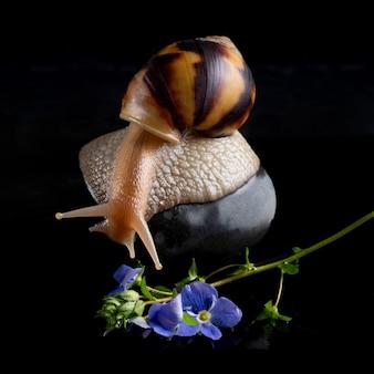 O caracol achatina desce da pedra. molusco com uma flor azul em uma parede preta