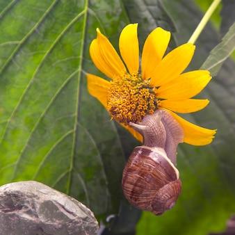 O caracol em uma pirâmide de pedra é atraído pelo perfume de uma flor amarela.
