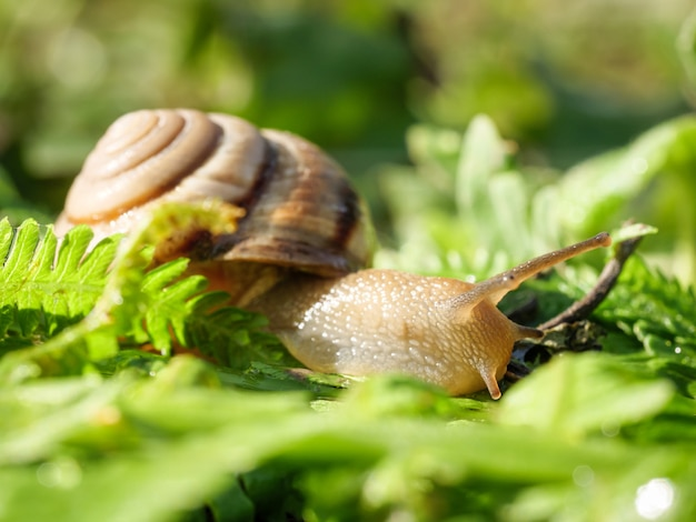 O caracol está rastejando na grama verde. foto horizontal.