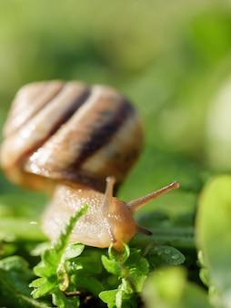 O caracol está rastejando na grama verde. foto vertical.