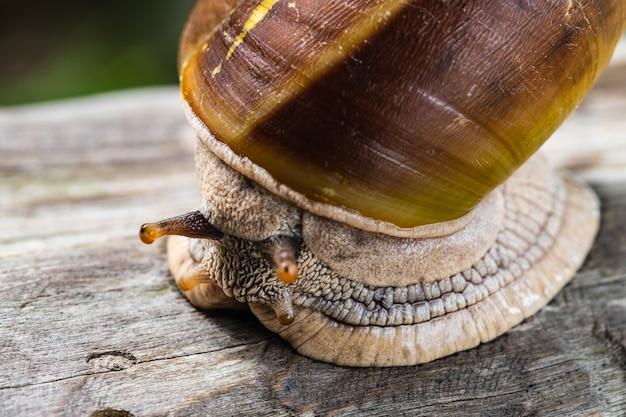 O caracol na madeira.