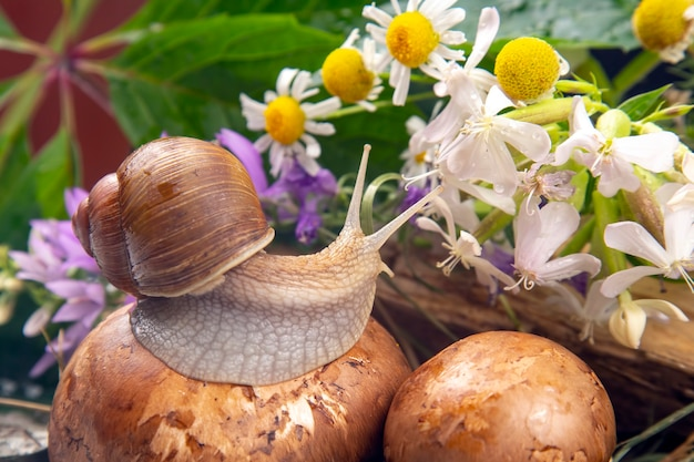 O caracol uva rasteja ativamente na natureza. molusco e invertebrado. delicadeza de carne e comida gourmet.