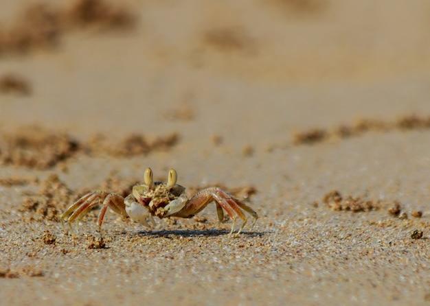 O caranguejo do mar corre ao longo do sandy beach em tailândia.