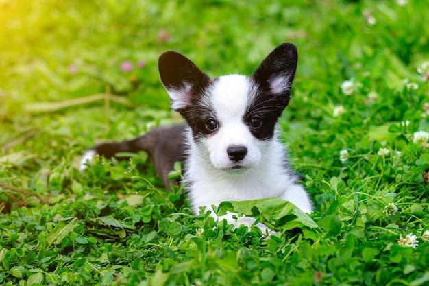O cardigã do puppy welsh corgi está deitado na grama