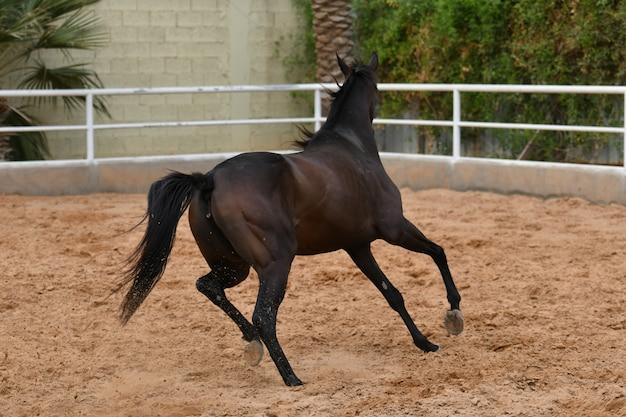 O cavalo árabe é uma raça de cavalo que se originou na península arábica