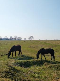 O cavalo está pastando em um prado verde. o cavalo está comendo grama em um campo verde