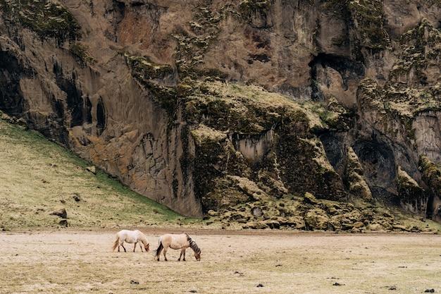 O cavalo islandês é uma raça de cavalo cultivada na islândia, onde dois cavalos de cor creme pastam em um campo de