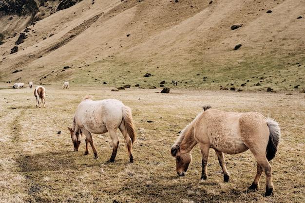 O cavalo islandês é uma raça de cavalo cultivada na islândia. os cavalos pastam em um prado com grama seca.