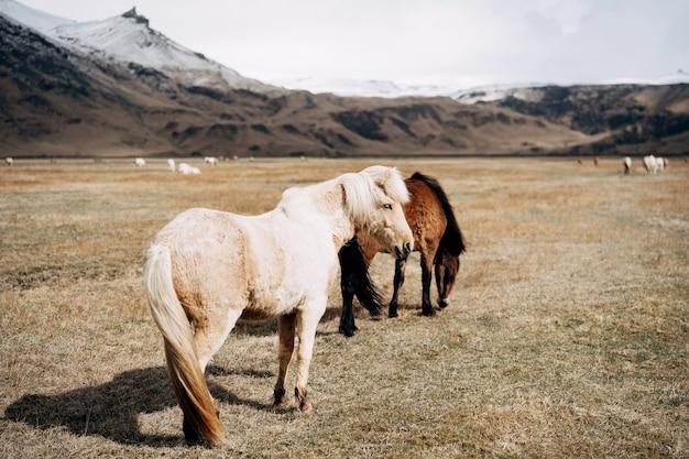 O cavalo islandês é uma raça de cavalo cultivado na islândia, dois cavalos, juba luxuosa, branca e marrom