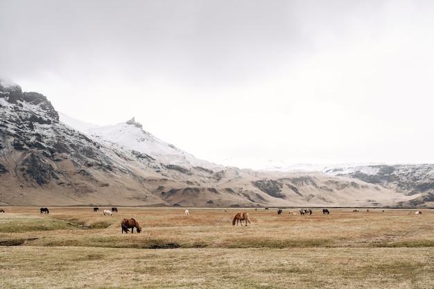 O cavalo islandês é uma raça de cavalos cultivada na islândia, rebanhos de cavalos pastam livremente em um enorme