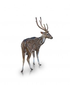 O cervo chital ou malhado isolado no branco (caminho de recorte)