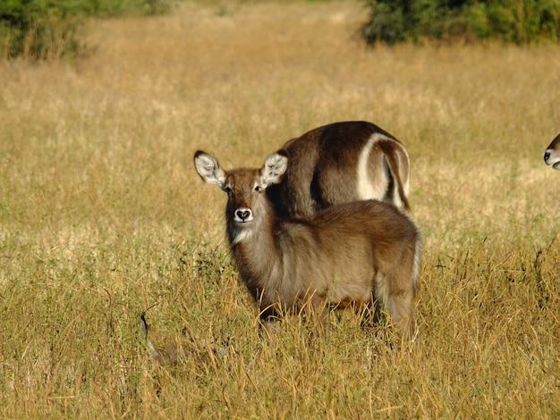 O cervo no safari no parque nacional de chobe, botswana, áfrica