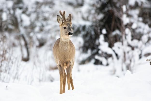 O cervo voa no prado coberto de neve da floresta