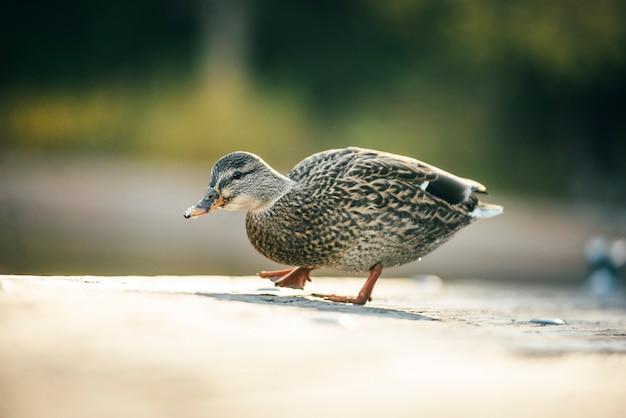 O charlatão do pato está andando na ponte de madeira no lago tahoe