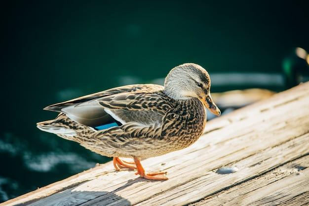 O charlatão do pato está ficando na ponte de madeira lake tahoe