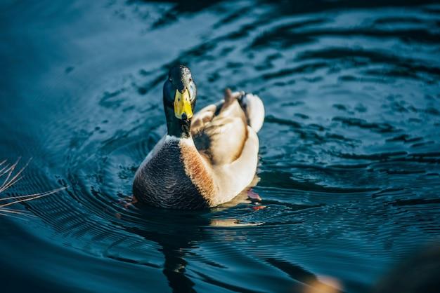 O charlatão do pato está nadando no lago tahoe