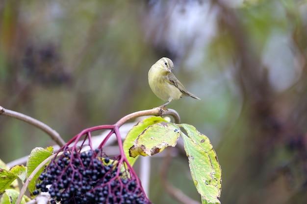 O chiffchaff comum (phylloscopus collybita) na plumagem de inverno, um close-up nos galhos com sabugueiro preto