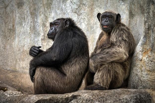 O chimpanzé relaxa nas paredes da caverna em uma atmosfera natural.