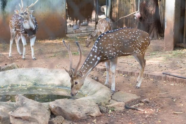 O chital ou cheetal também conhecido como cervo manchado ou cervo axis que vivem no zoológico da tailândia