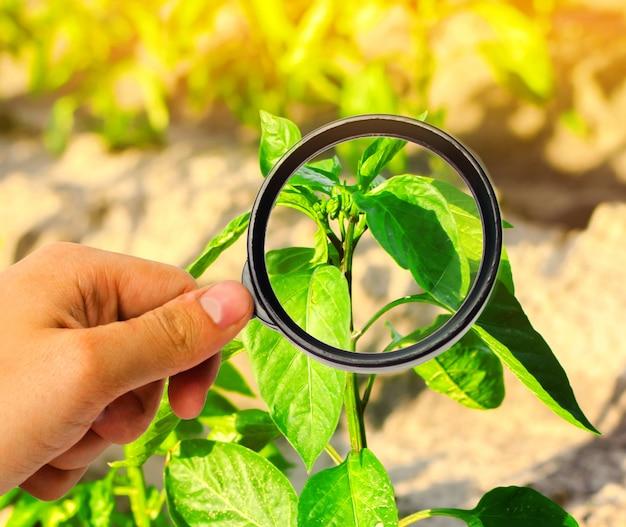 O cientista de alimentos verifica a pimenta para produtos químicos e pesticidas. vegetais saudáveis.