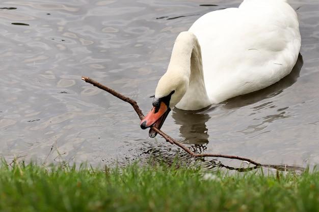 O cisne agarrou um pedaço de pau na lagoa