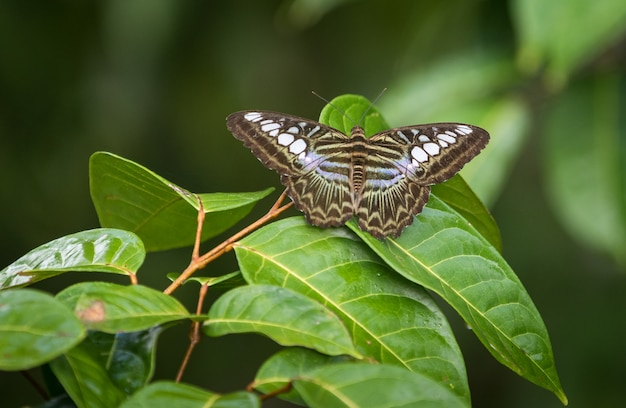 O clipper, parthenos sylvia, uma espécie de borboleta ninfalida
