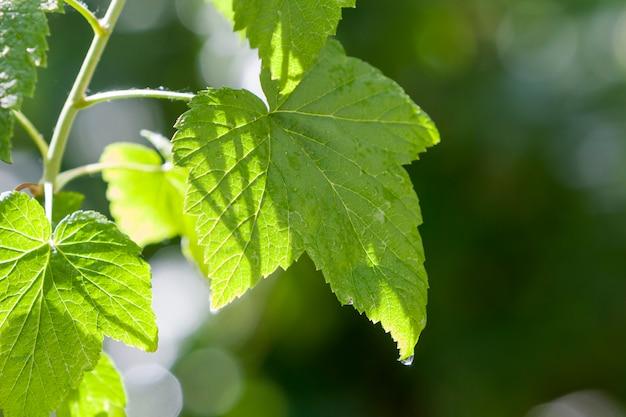O close-up da groselha brilhante fresca brilhante grande grande deixa a incandescência na luz solar do verão no fundo borrado do bokeh verde-claro. beleza e proteção da natureza, agricultura e conceito de jardinagem.