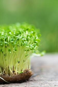 O close up da rúcula brotada cresce na esteira de linho molhada.