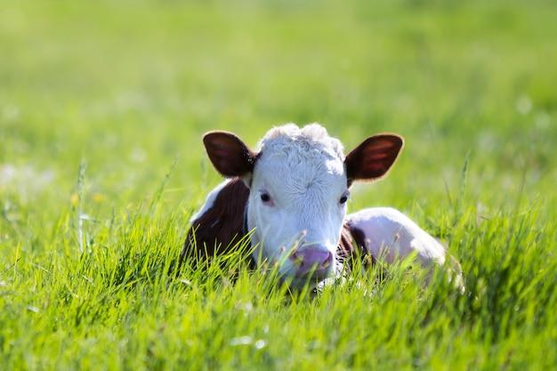 O close-up da vitela branca e marrom que olha in camera que coloca no campo verde iluminou-se pelo sol com grama fresca da mola no fundo borrado verde.