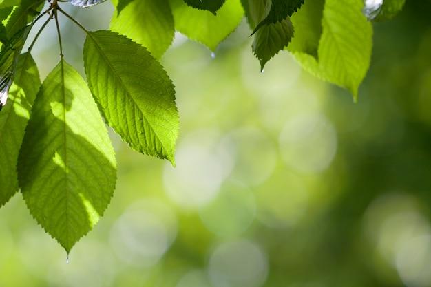 O close-up das folhas brilhantes frescas bonitas da cereja iluminou-se pelo sol que pendura como a cortina acima do espaço brilhante borrado da cópia do bokeh. beleza e proteção da natureza, agricultura e conceito de jardinagem.