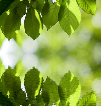 O close-up das folhas brilhantes frescas da cereja iluminou-se pelo sol que pendura como a cortina acima da reflexão de espelho borrada no espaço brilhante da cópia do bokeh. beleza e harmonia da natureza, conceito de jardinagem de frutas.