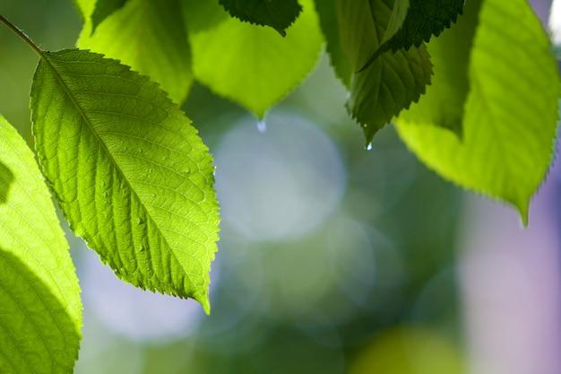 O close-up das folhas brilhantes frescas frescas bonitas da cereja iluminou-se pelo sol que pendura como a cortina acima do fundo brilhante borrado do espaço da cópia do bokeh. beleza e proteção da natureza, agricultura e conceito de jardinagem.
